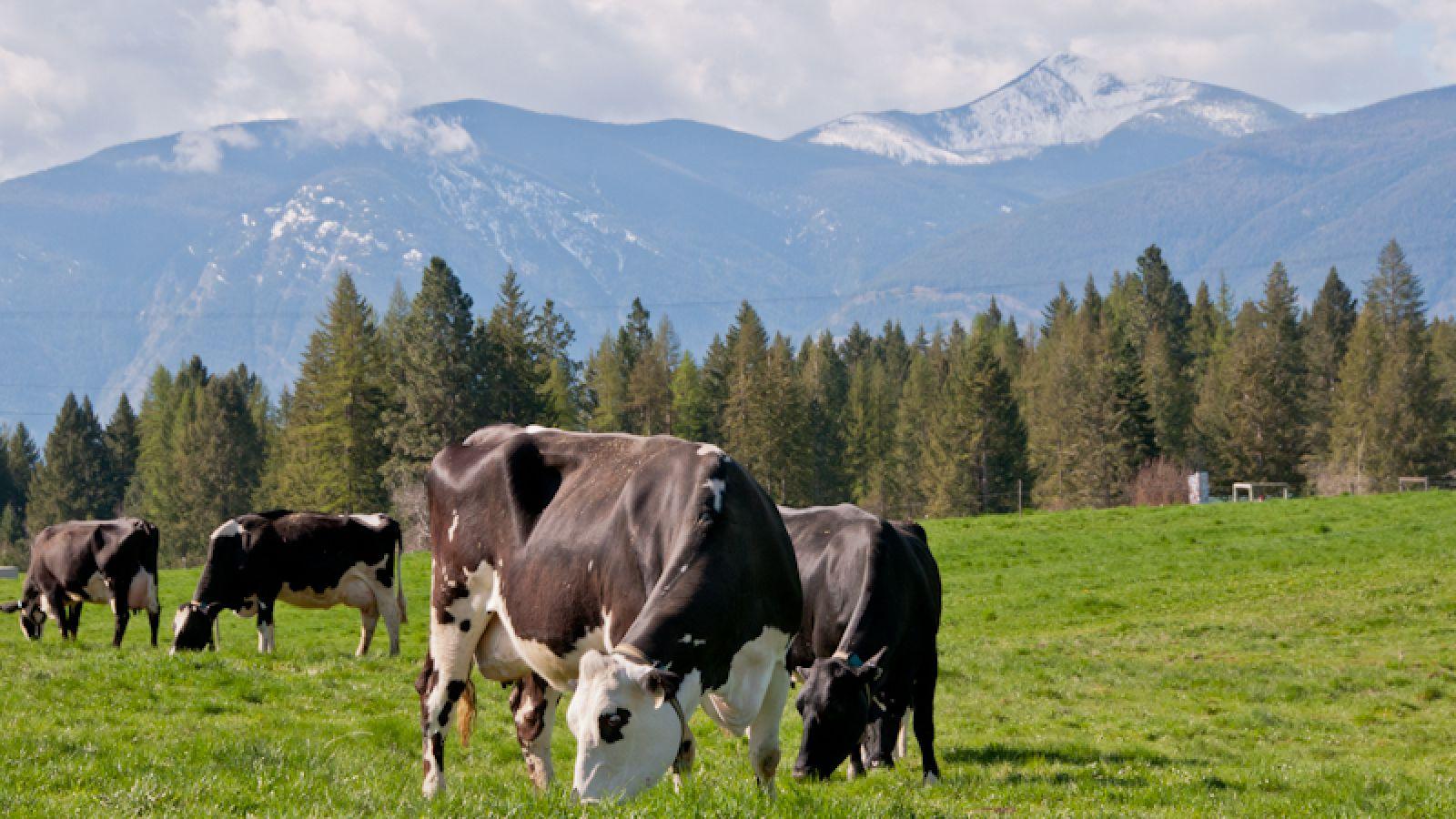 Meet the cows.