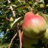 Bartlett pears.