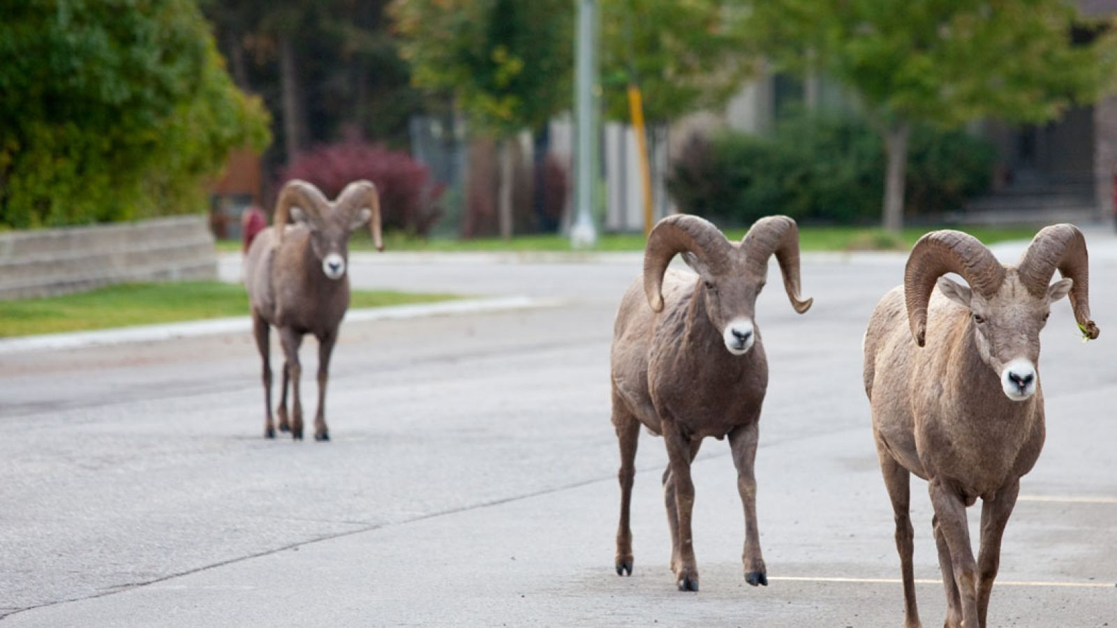You can't miss the resident Rocky Mountain Bighorn Sheep.