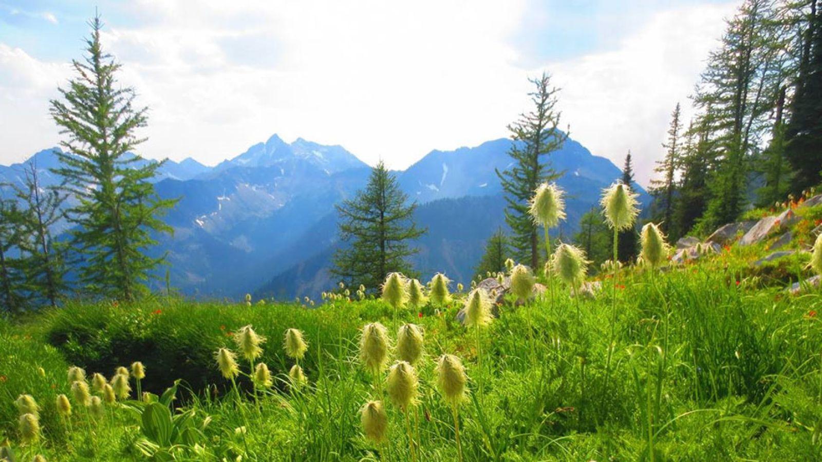 Beautiful alpine wildflowers.
